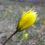 Тюльпан бузький (Tulipa hypanica)