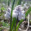 Гіацинтик блідий (Hyacinthella leucophaea)