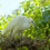 Чепура мала (Egretta garzetta)