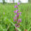 Плодоріжка болотна (Anacamptis palustris)