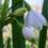 Білоцвіт літній (Leucojum aestivum)