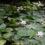 Латаття біле (Nymphaea alba L.).