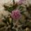 Кермечник Бессера (Goniolimon besserianum)