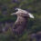 Орлан-білохвіст (Haliaetus albicilla)