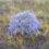 Кермек широколистий (Limonium platyphyllum Linch.)