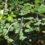 Сальвінія плаваюча (Salvinia natans (L.) All. )
